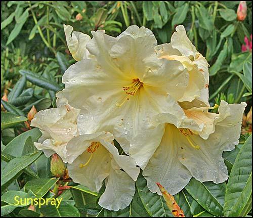 Vocabulaire spcial pour les rhododendrons - Rhododendron ne fleurit pas ...